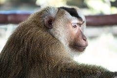 Λυπημένος γούνινος πίθηκος που ζητά τα τρόφιμα, Ταϊλάνδη στοκ φωτογραφία με δικαίωμα ελεύθερης χρήσης