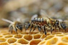 μέλισσα Μέλισσες εργασίας στην κυψέλη Οι μέλισσες μετατρέπουν το νέκταρ στο μέλι και το κλείνουν στην κηρήθρα Εκλεκτική εστίαση στοκ φωτογραφίες