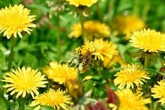 Μέλισσα στη φωτογραφία αποθεμάτων τομέων πικραλίδων στοκ εικόνα