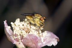 Μακρο εικόνα λίγης μύγας στο λουλούδι, Σάο Miguel, Αζόρες, στοκ εικόνα