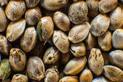 Μακρο λεπτομέρεια του σπόρου μαριχουάνα Υπόβαθρο σπόρων κάνναβης στη μακροεντολή Πολλοί σπόροι καννάβεων Οργανικός σπόρος κάνναβη στοκ εικόνες
