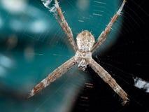 Μακρο φωτογραφία του ST Andrew& x27 διαγώνια αράχνη του s στον Ιστό που απομονώνεται στο υπόβαθρο στοκ φωτογραφίες