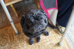 Μαλαγμένος πηλός για ένα ηλικιωμένο άτομο στα πόδια δίπλα στον περιπατητή για τα άτομα με ειδικές ανάγκες το σκυλί κάθεται στο πά στοκ εικόνες με δικαίωμα ελεύθερης χρήσης