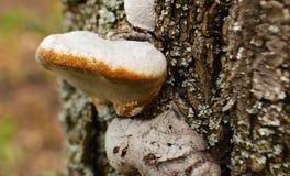 Μανιτάρι Fomes στον κορμό ενός δέντρου στοκ εικόνες