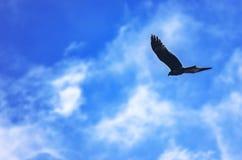 Μαύρος ικτίνος, Milvus Migrans, φτερά που πετά στο μπλε ουρανό με τα άσπρα σύννεφα Ελευθερία, έννοια ταξιδιού στοκ εικόνες με δικαίωμα ελεύθερης χρήσης