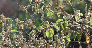 Μαύρος-φτερωτή σίτιση Lovebird απόθεμα βίντεο