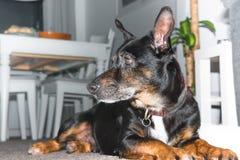 Μαύρο σκυλί - παλαιός μικτός μιγάς ύπνος σκυλιών διάσωσης φυλής στο καθιστικό στον γκρίζο τάπητα - λυπημένο κατοικίδιο ζώο στοκ εικόνες με δικαίωμα ελεύθερης χρήσης