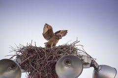 Μεγάλες κερασφόρες πρακτικές virginianus Bubo owlet μωρών που πετούν με το κράτημα επάνω σε κάτι στη φωλιά του στοκ φωτογραφία