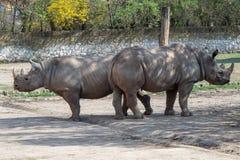 Μεγάλος ανατολικός μαύρος ρινόκερος, michaeli bicornis Diceros στοκ εικόνες
