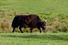 Μεγάλος ταύρος βούβαλων στο φυσικό περιβάλλον του στοκ φωτογραφία