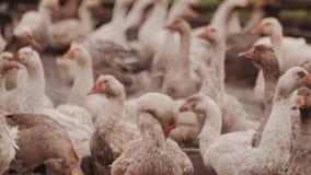 Μεγάλο αγρόκτημα χήνων Πολλές χήνες έξω από το φράκτη πουλερικά απόθεμα βίντεο