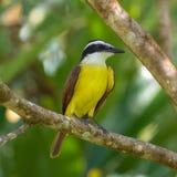 Μεγάλο kiskadee, πουλί στοκ φωτογραφία