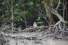 Με μακριά ουρά macaque, Langkawi, Μαλαισία στοκ εικόνες με δικαίωμα ελεύθερης χρήσης