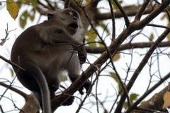 Με μακριά ουρά macaque, Langkawi, Μαλαισία στοκ εικόνες