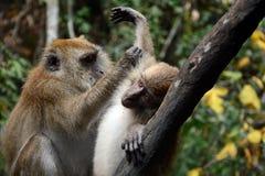 Με μακριά ουρά macaques, Langkawi, Μαλαισία στοκ εικόνες με δικαίωμα ελεύθερης χρήσης