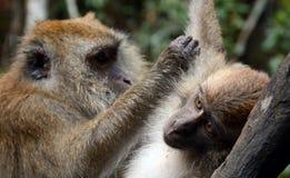 Με μακριά ουρά macaques, Langkawi, Μαλαισία στοκ φωτογραφίες