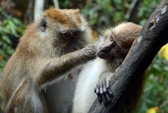 Με μακριά ουρά macaques, Langkawi, Μαλαισία στοκ εικόνα
