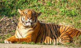 Μια βασιλική τίγρη της Βεγγάλης - βρυχηθμός στοκ εικόνες