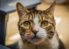 Μια γάτα με τα όμορφα μάτια στοκ εικόνες
