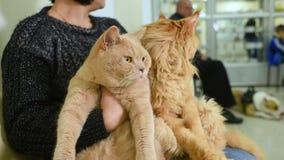 Μια εκμετάλλευση γυναικών στα χέρια δύο κόκκινο γάτα-βρετανικό Shorthair και Μαίην Coon στη γραμμή για την επιθεώρηση σε έναν κτη απόθεμα βίντεο