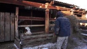Μια εργασία αγροτών με τις οικιακές μικροδουλειές βοοειδή Χωριό φιλμ μικρού μήκους