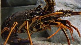 Μια καρκινοειδής θαλάσσια ζωή απόθεμα βίντεο