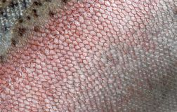 Μια λεπτομερής εικόνα του δέρματος της πέστροφας ουράνιων τόξων με τις ρόδινες, seebristy και καφετιές κλίμακες Μακρο σύσταση πυρ στοκ εικόνες