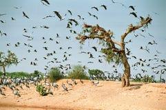 Μια ομάδα πουλιών που πετούν από το δέντρο, σύρσιμο, Phalodi, Rajasthan, Ινδία στοκ φωτογραφίες με δικαίωμα ελεύθερης χρήσης