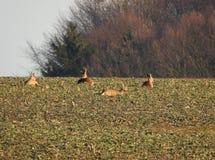 Μια ομάδα deers που απολαμβάνει μια σιέστα της Κυριακής στοκ φωτογραφίες με δικαίωμα ελεύθερης χρήσης