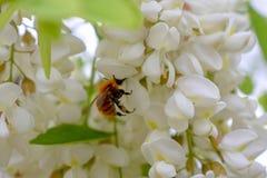 Μια σκληρή μέλισσα εργασίας στην ακακία ανθίζει στοκ εικόνα με δικαίωμα ελεύθερης χρήσης