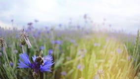 Μια συνεδρίαση μελισσών και έπειτα πέταγμα από ένα όμορφο μπλε knapweed λιβάδι στον τομέα θερινού ηλιοβασιλέματος χωρίς ανθρώπους φιλμ μικρού μήκους