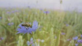 Μια πολυάσχολη μέλισσα επικονιάζει ένα όμορφο μπλε cornflower wildflower στον τομέα θερινού ηλιοβασιλέματος χωρίς ανθρώπους κοντά φιλμ μικρού μήκους