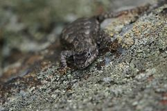 Μικρή σαύρα που σέρνεται σε μια γκρίζα πέτρα στοκ φωτογραφία με δικαίωμα ελεύθερης χρήσης
