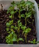 Μικροί νεαροί βλαστοί πιπεριών στο χώμα στο δοχείο στοκ φωτογραφία