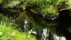 Μικρό ρεύμα με τη σαφή αγριότητα νερού απόθεμα βίντεο