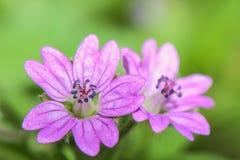 Μικρό ρόδινο λουλούδι σε ένα πράσινο υπόβαθρο - pusillum γερανιών στοκ φωτογραφίες με δικαίωμα ελεύθερης χρήσης