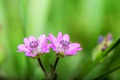 Μικρό ρόδινο λουλούδι σε ένα πράσινο υπόβαθρο - pusillum γερανιών στοκ εικόνες με δικαίωμα ελεύθερης χρήσης