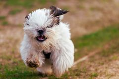 Μικρό σκυλί κουταβιών Tzu Shi στοκ εικόνα
