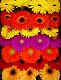 Μικτά ζωηρόχρωμα λουλούδια μαργαριτών gerbera στοκ φωτογραφία με δικαίωμα ελεύθερης χρήσης