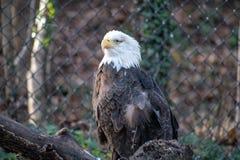 Μονόφθαλμος φαλακρός αετός που προσγειώνεται στον κλάδο στοκ εικόνες με δικαίωμα ελεύθερης χρήσης