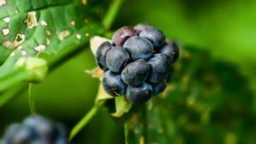 Μούρο Blackberry στο υπόβαθρο του πράσινου Μπους στοκ φωτογραφίες