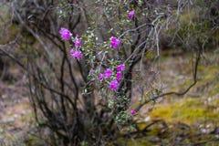 Μόλις ανθίζοντας λουλούδια του άγριου δεντρολιβάνου maralnik στην τοπική διάλεκτο σε Altai στοκ φωτογραφία με δικαίωμα ελεύθερης χρήσης