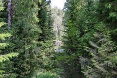 Μόλις αξιοπρόσεχτη πορεία μεταξύ των πεύκων Αδιαπέραστα αλσύλλια στο taiga άγριο δάσος τραγουδιού φύσης αγάπης αγριόγαλλων Τα δέν στοκ εικόνα