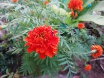 Μυρμήγκι στο marigold λουλούδι στοκ εικόνα