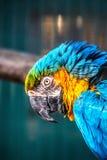 Μπλε-και-κίτρινο macaw, ararauna Ara στοκ φωτογραφίες με δικαίωμα ελεύθερης χρήσης