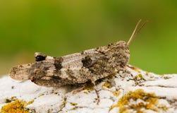 Μπλε-φτερωτό grasshopper, Oedipoda caerulescens στη Δημοκρατία της Τσεχίας στοκ φωτογραφίες