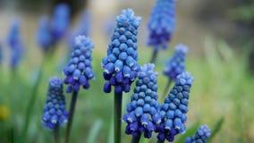μπλε υάκινθος σταφυλιών στοκ εικόνα
