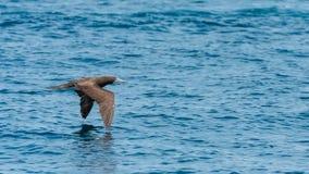 Μπλε-πληρωμένος γκαφατζής, πουλί στοκ φωτογραφίες