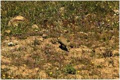 Μπορείτε να τους δείτε; μικροί; : Το ερυθρόποδο rufa Alectoris περδικών και τα κοτόπουλά του στοκ φωτογραφία με δικαίωμα ελεύθερης χρήσης
