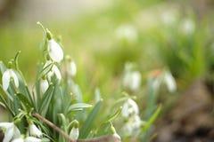 Μπους του πρώιμου ελατηρίου snowdrops Nivalis Galanthus στοκ φωτογραφίες